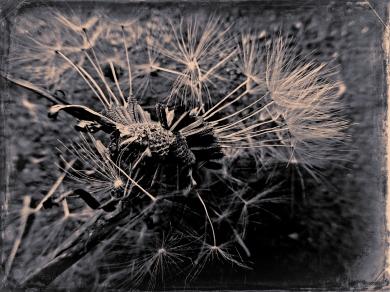Dandelion (11)