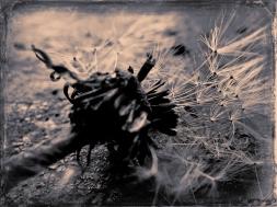 Dandelion (4)