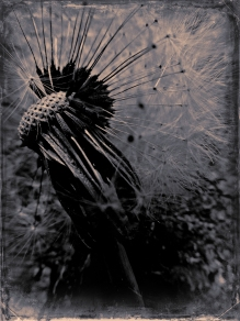 Dandelion (8)