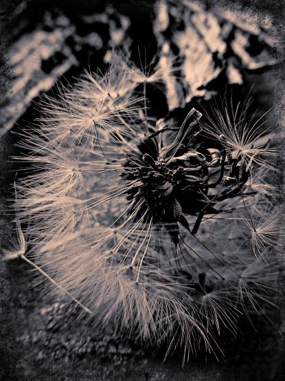 Dandelion (9)